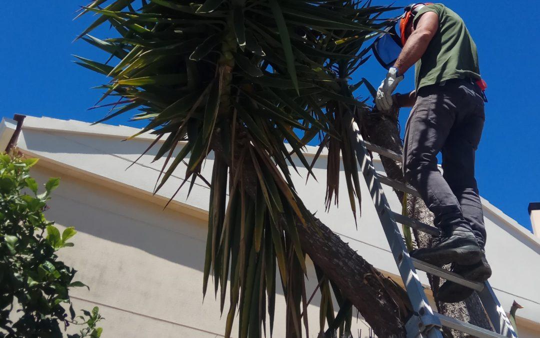 Poda de Yucas gigantes